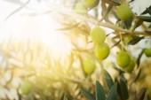 elia-olive-oil-grove